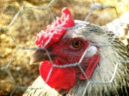 Chicken eyes_6118